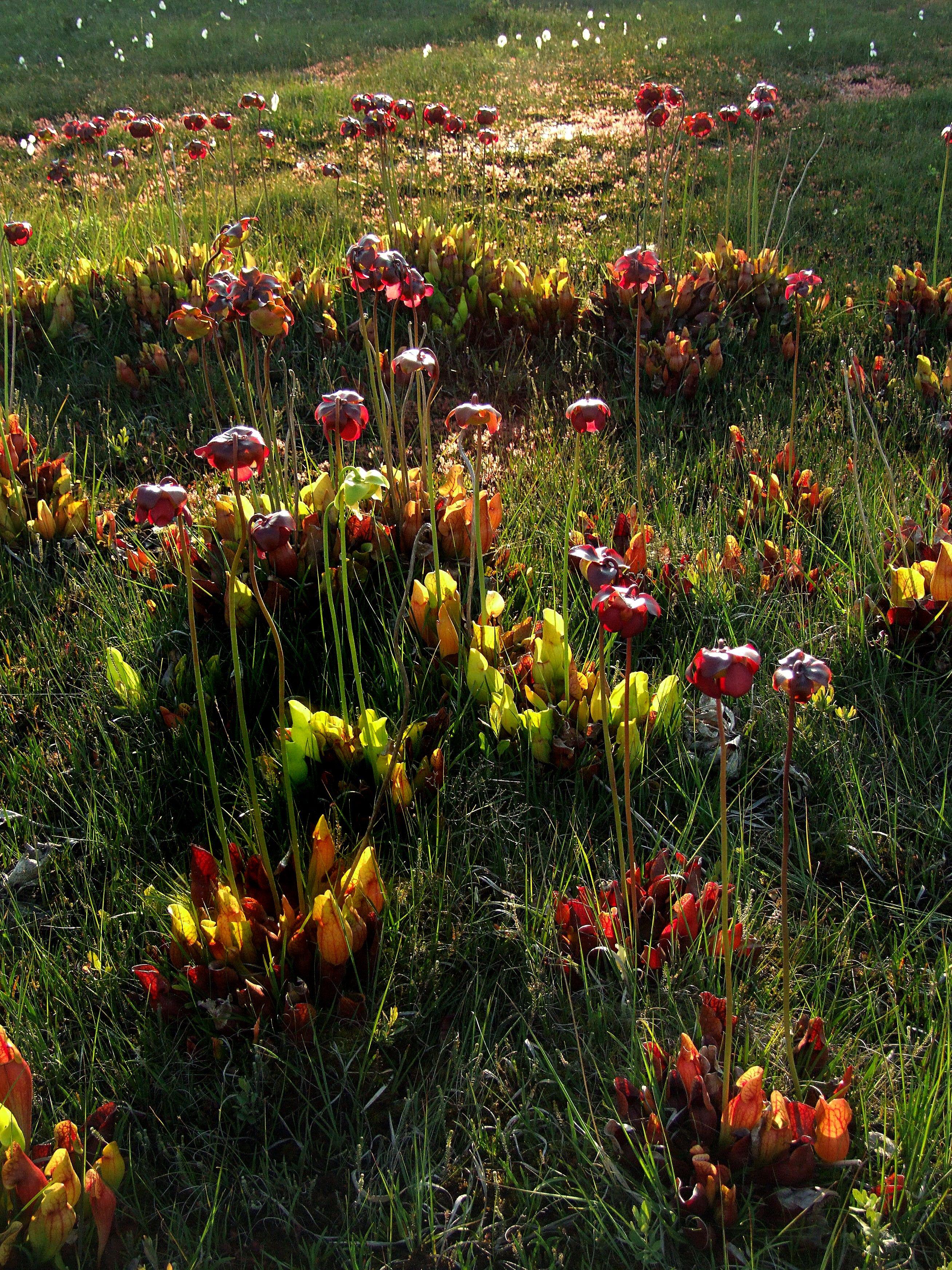 Sarracenia purpurea   Carnivorous plants   Pinterest   Plants ...