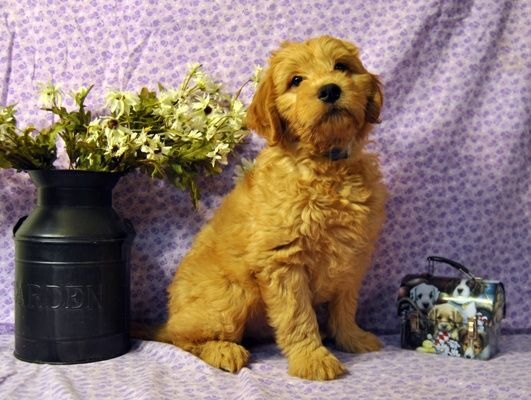 Goldendoodle Puppies For Sale Massachusetts Goldendoodle