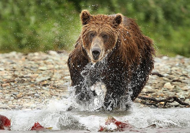 Brown bear fishing for big red salmon, very successfully.  See photo series of  Anay Tarnekar on Flickr | Flickr - Photo Sharing!