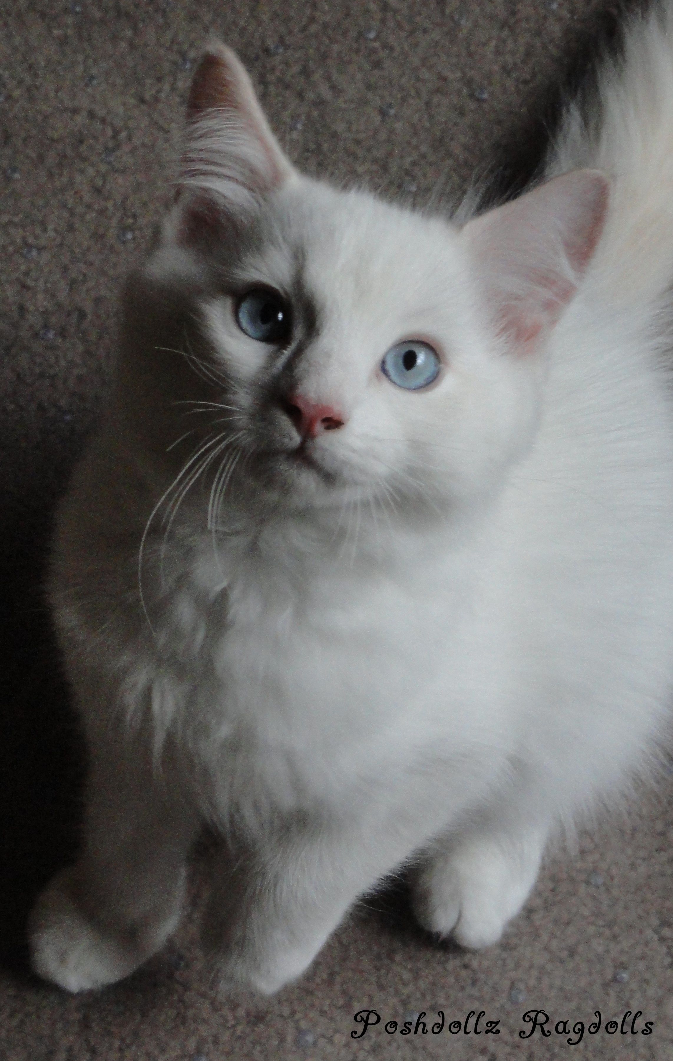 Flame Point Mitted Ragdoll Kitten I Love Cats Kittens