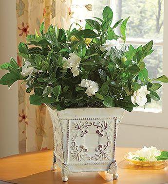 Grand Gardenia Gardenia Plant Flower Delivery 800 Flowers
