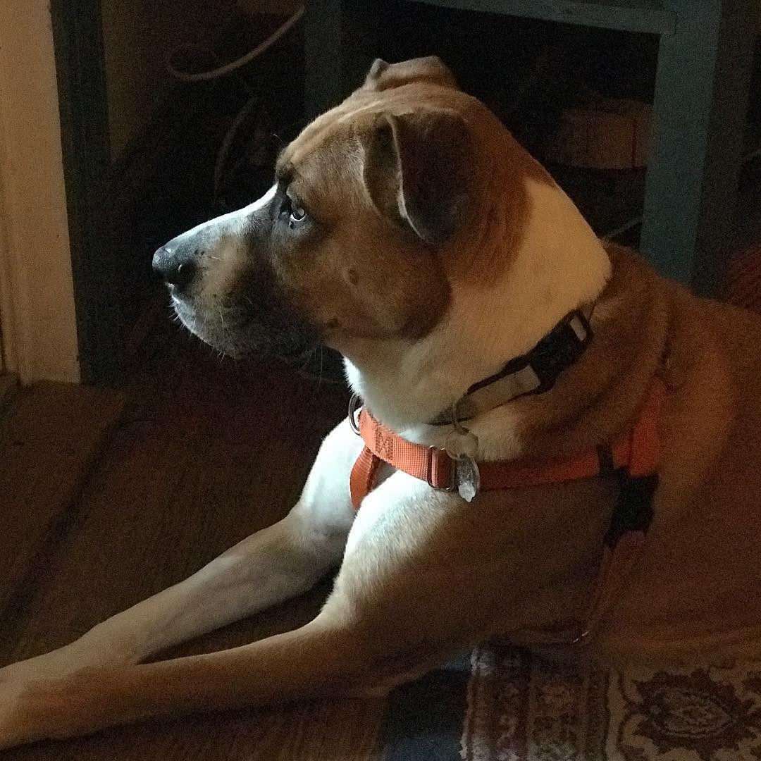 NEIGHBOR Dog Sam. Shes a beauty isnt she? boxer