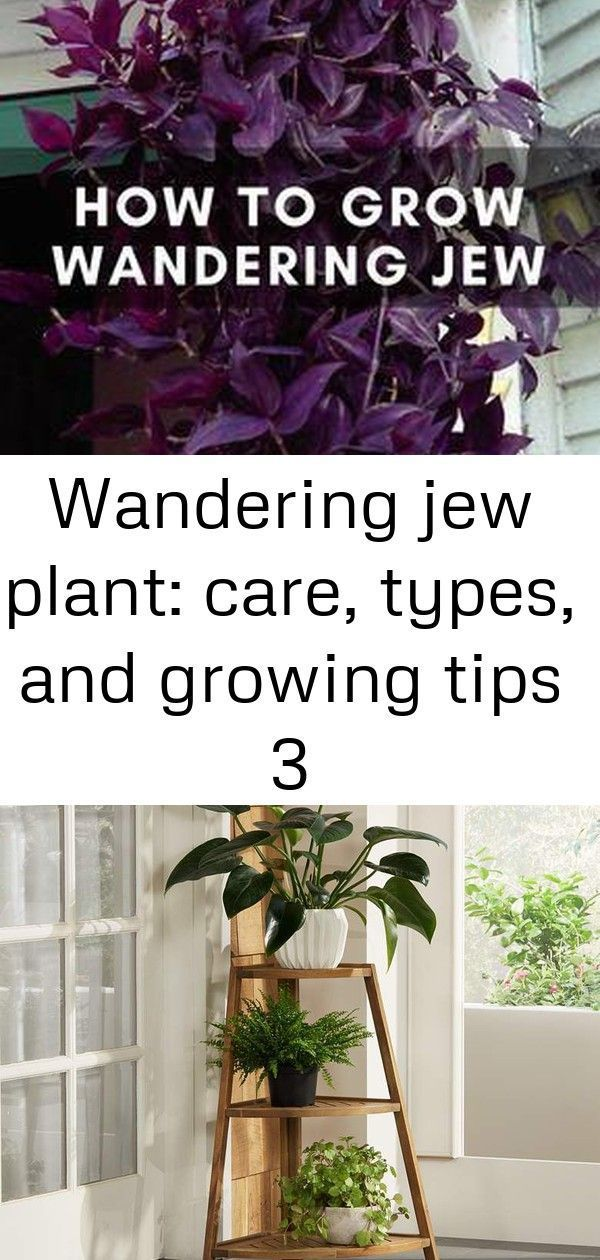 Wandering jew plant: care, types, and growing tips 3 #wanderingjewplant The wandering jew plant is not a single plant — it refers to 3 different types of houseplants! Learn how to grow them in this in-depth care guide.  Hosta 'Gentle Giant' – plant lust #wanderingjewplant Wandering jew plant: care, types, and growing tips 3 #wanderingjewplant The wandering jew plant is not a single plant — it refers to 3 different types of houseplants! Learn how to grow them in this in-depth care guide.  H #wanderingjewplant