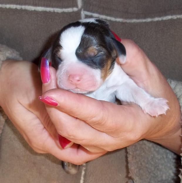 Pocket Beagle Puppies For Sale In Sc Zoe Fans Blog Beagle