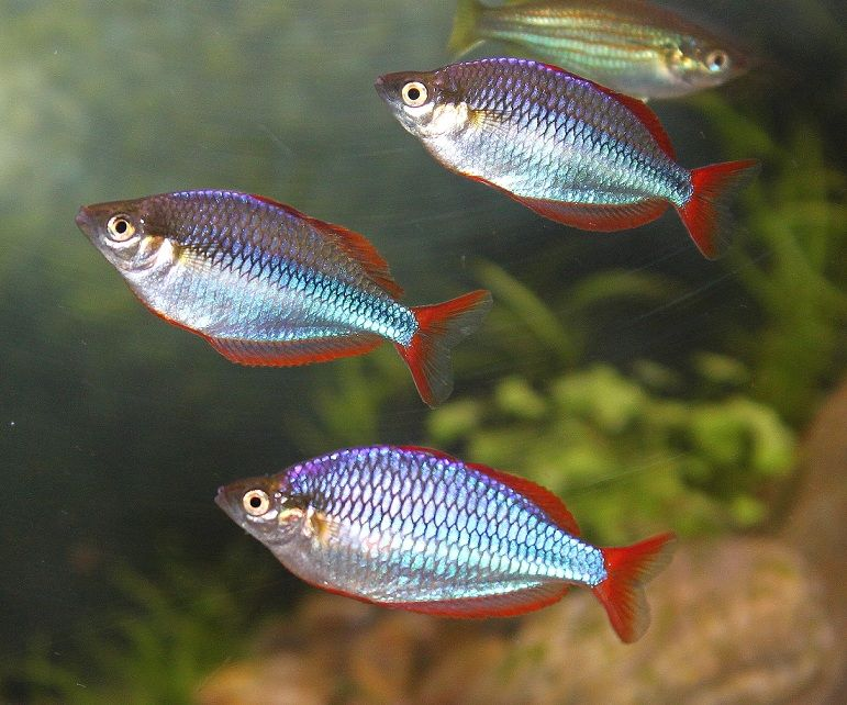 Image Result For Dwarf Neon Rainbowfish Rainbow Fish Aquarium Fish Tetra Fish