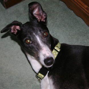 Greyhound Rescue West Of England Grey Hound Dog Greyhound Rescue Greyhound