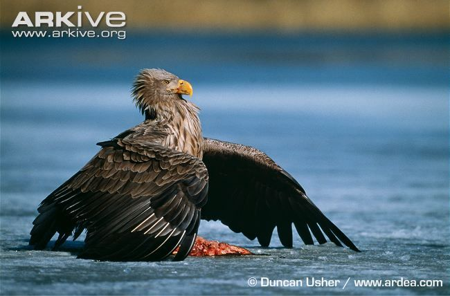 White-tailed eagle mantling food