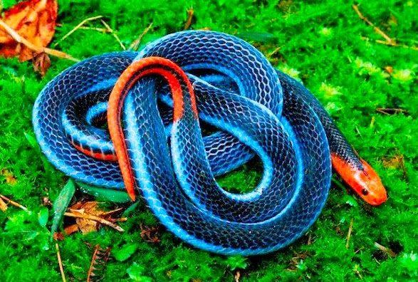 Cobra Coral Azul Da Malasia Calliophis Bivirgatus Cobras
