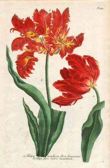 Tulipa monstrosa flore Sanguineo. Tulipa flore rubro monstroso.