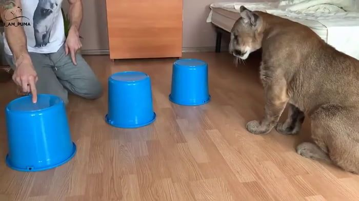 Mountain lion plays a deadly shell game - 9GAG