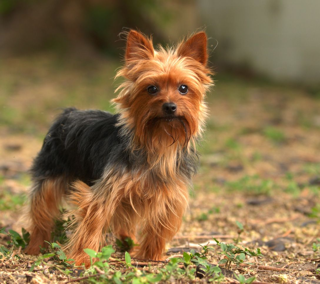These Small Dogs Are So Cute You Won T Know What To Do With Yourself Cute Small Dogs Dog Breeds Yorkshire Terrier