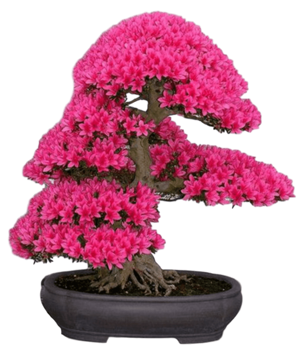 Japanese Cherry Blossom Seeds
