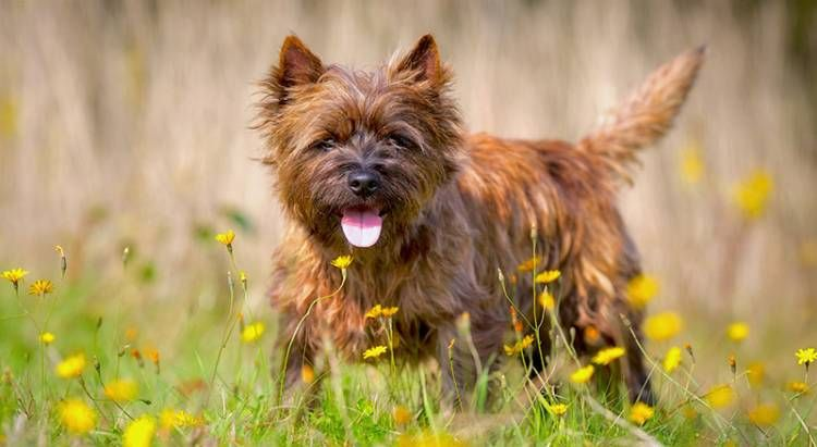 Find Cairn Terrier Breed Info Search Cairn Terrier Puppies For