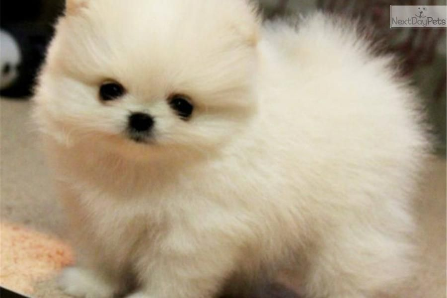 3 Types Of Pomeranian Faces Pomeranian Puppy For Sale Near