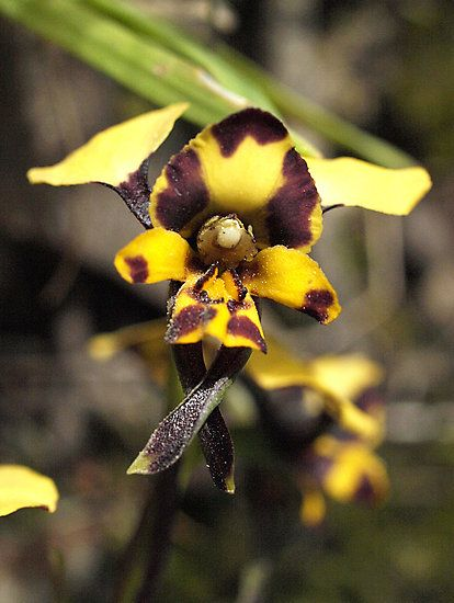 """Leopard Orchid (Diuris pardina)"" by Bev Pascoe | Redbubble"