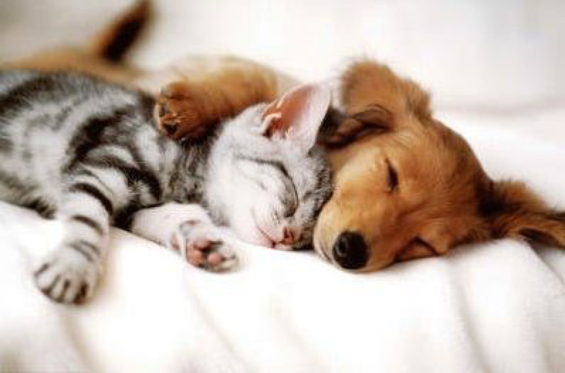 Cute Dachshund & Kitten Sleeping together - Unlikely Friendships