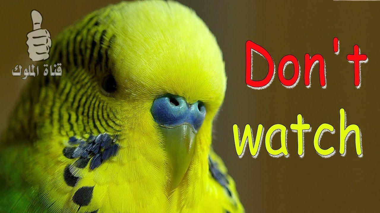 اذا كنت تحب طيور البادجي لا تشاهد هذا الفيديو Budgies Animals Parrot