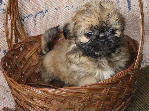 Pug And Pekingese Puginese Pug Mixed Breeds Cute Animals Dog