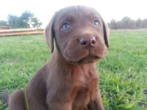 Chocolate Labrador Puppies I Love Them With Blue Eyes