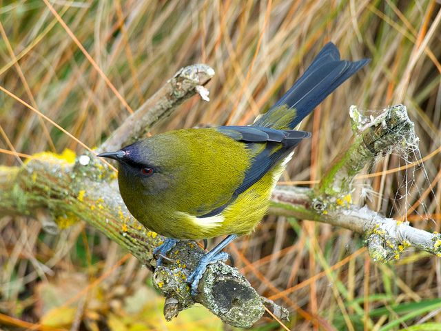 Bellbird Korimako Pet Birds New Zealand Art Wild Birds