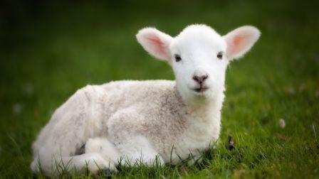 Little Lamb Spring Grass Sheep Cute Animals HD Wallpaper