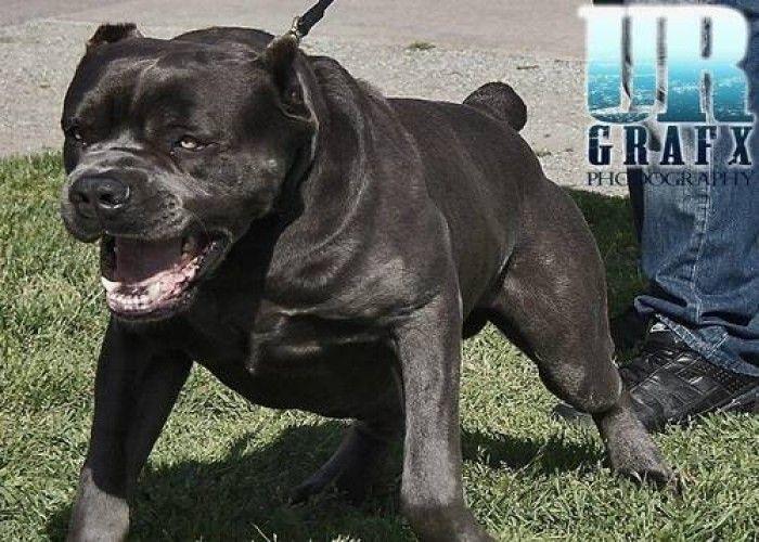 Cane Corso Dog Cane Corso Cane Corso Dog Corso Dog