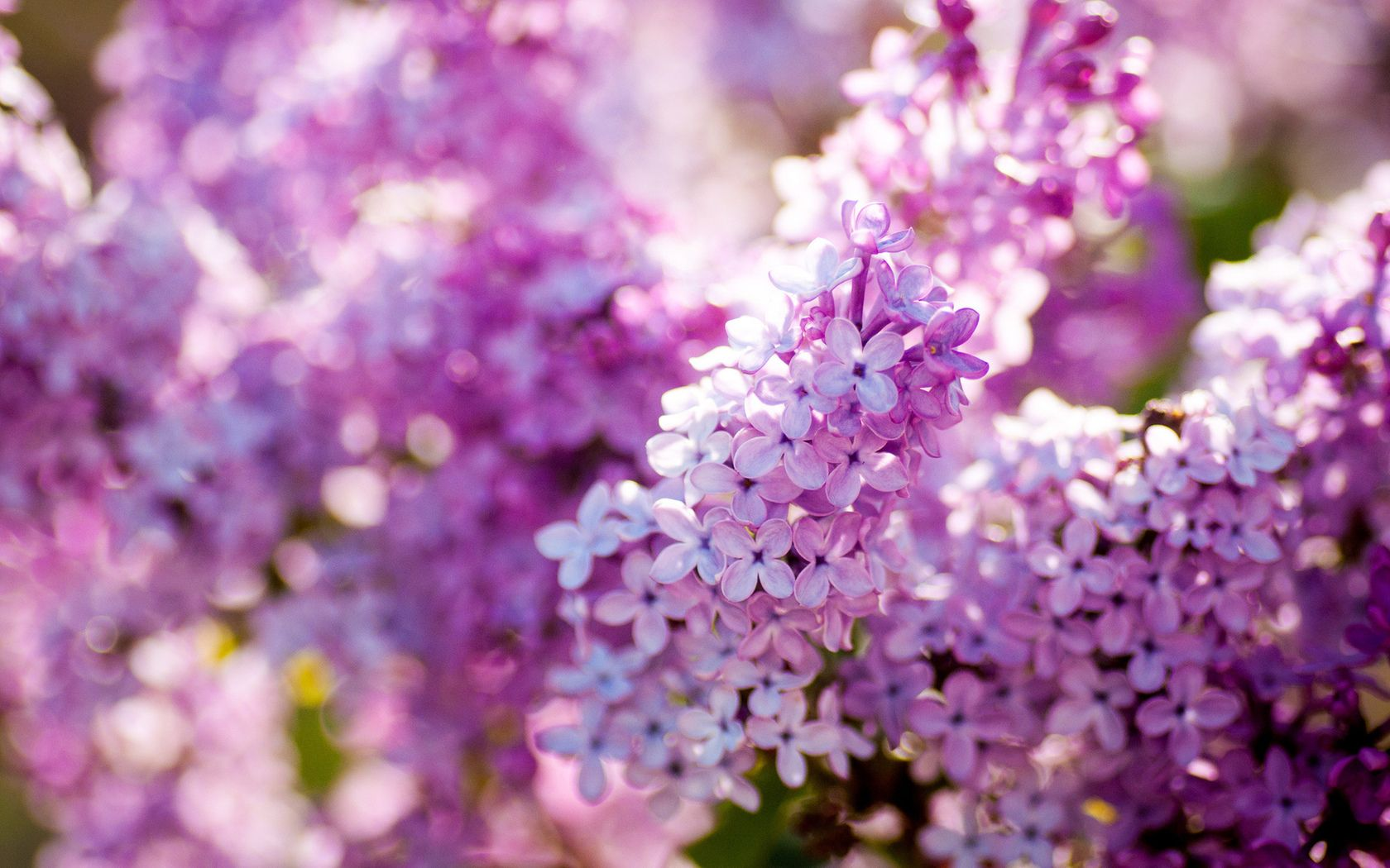Purple Photo Lilac Flower Lilac Flowers Beautiful Flowers Wallpapers Lilac