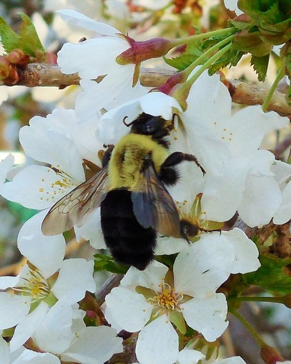 BUMBLE BEE On Weeping Cherry8X10 Photograph by EyeLoveTheView