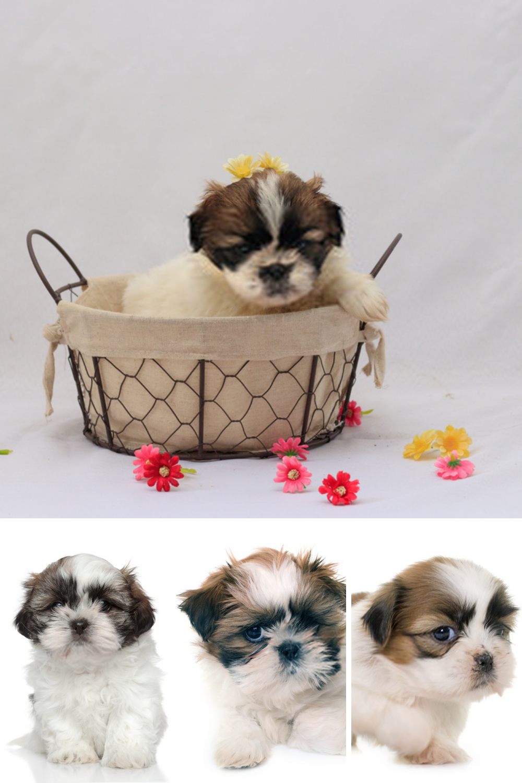 Shih Tzu Puppy Shih Tzu Dogs Pets Photo Shih Tzu Puppy Puppy Dog Images Pet Dog Pictures