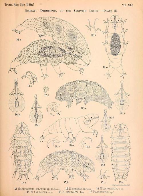 Anatomy of Tardigrada Demonstrating the appearance of gravid ...