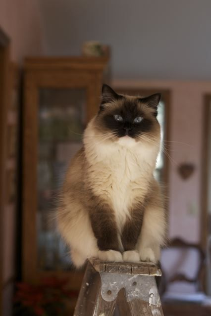 Stella the Ragdoll cat.