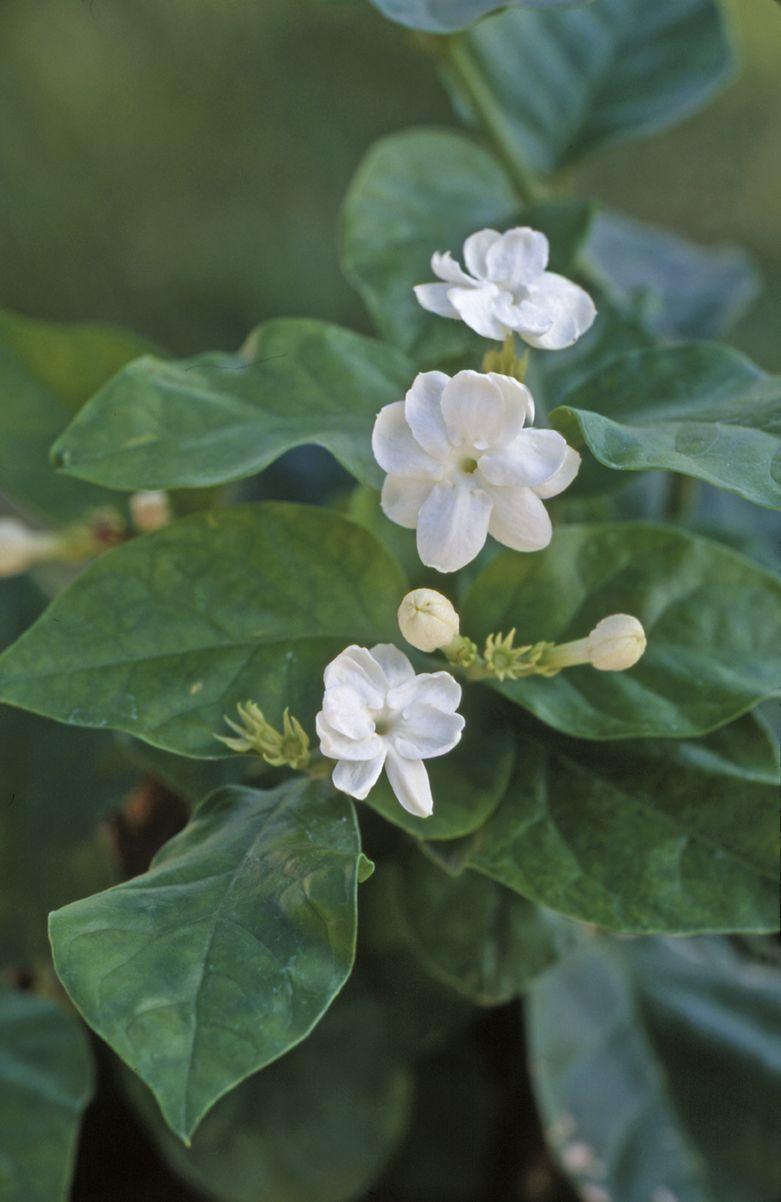Double Flowering Crape Jasmine Credit Hort Printers Gardening