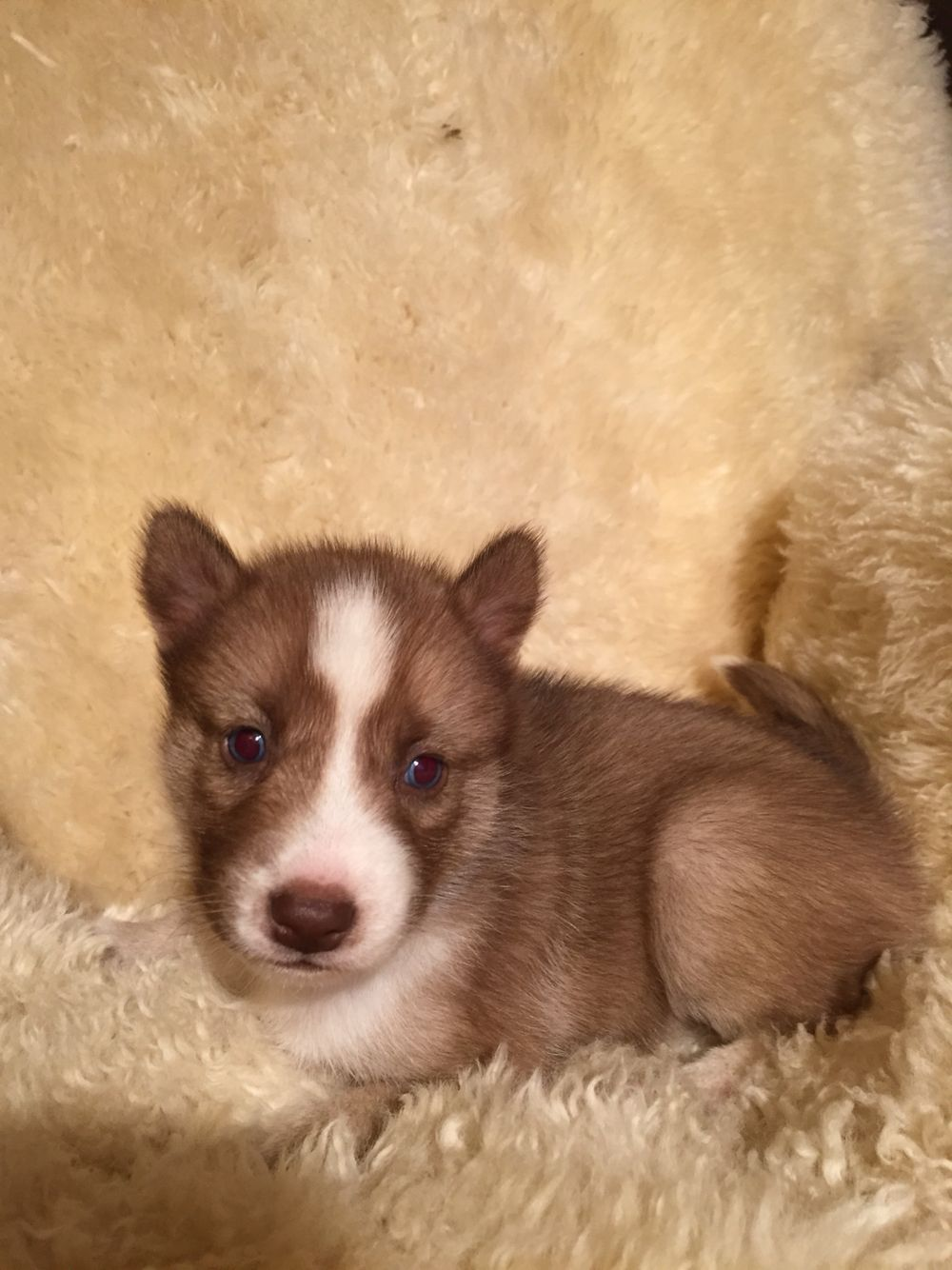 Blue Eyes Rare Dark Akc Brown Siberian Husky 6192459393 Brown