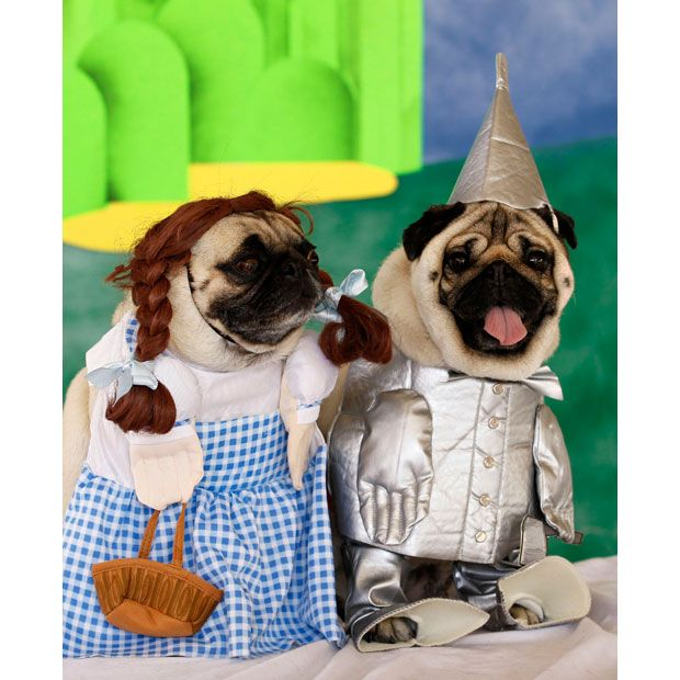 Environment Pugs In Costume Pugs Funny Pugs