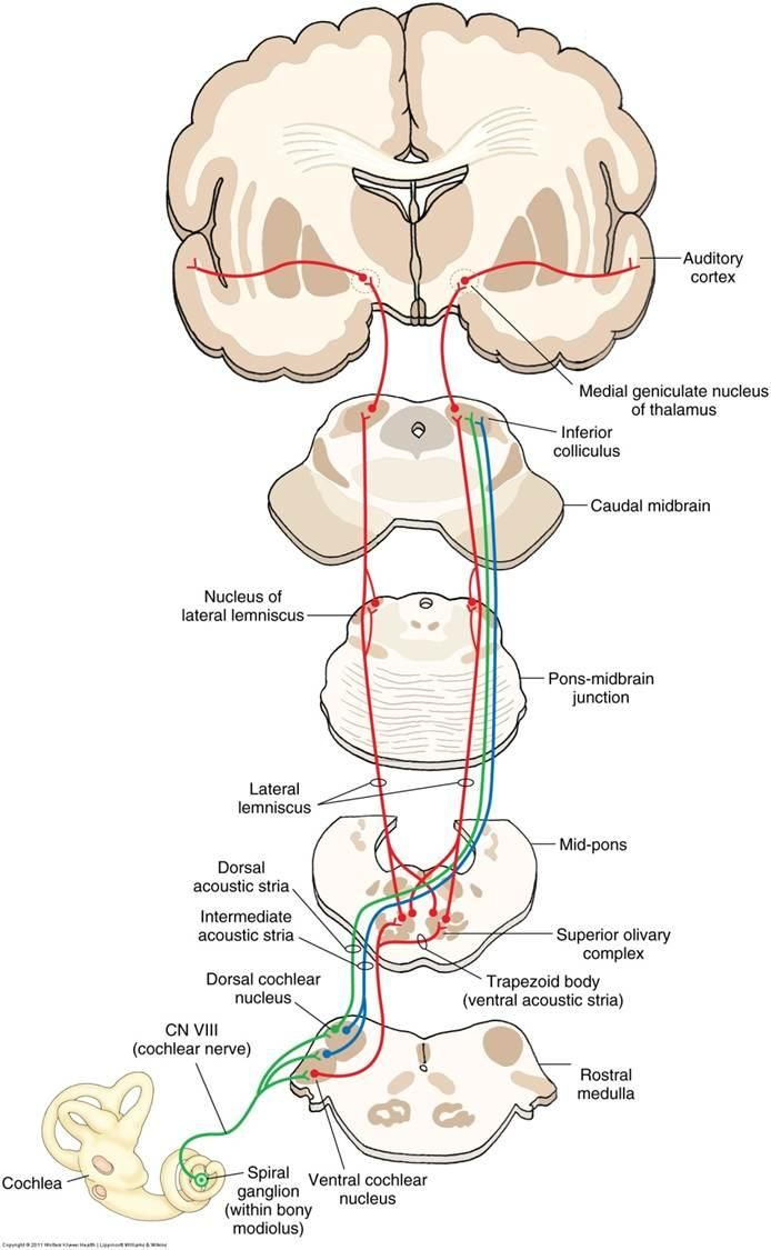 lateral lemniscus, auditory pathway   Neurology   Pinterest   School