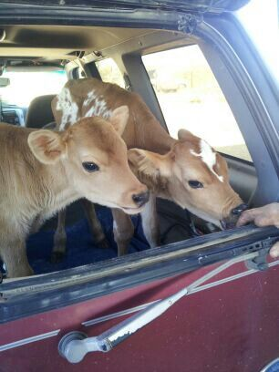 Awww  baby cows