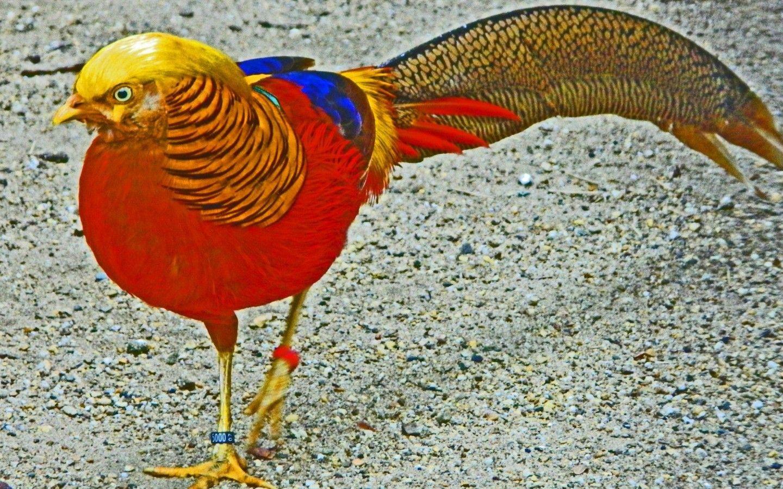 Golden Pheasant Amazing Desktop New Hd Wallpaper In