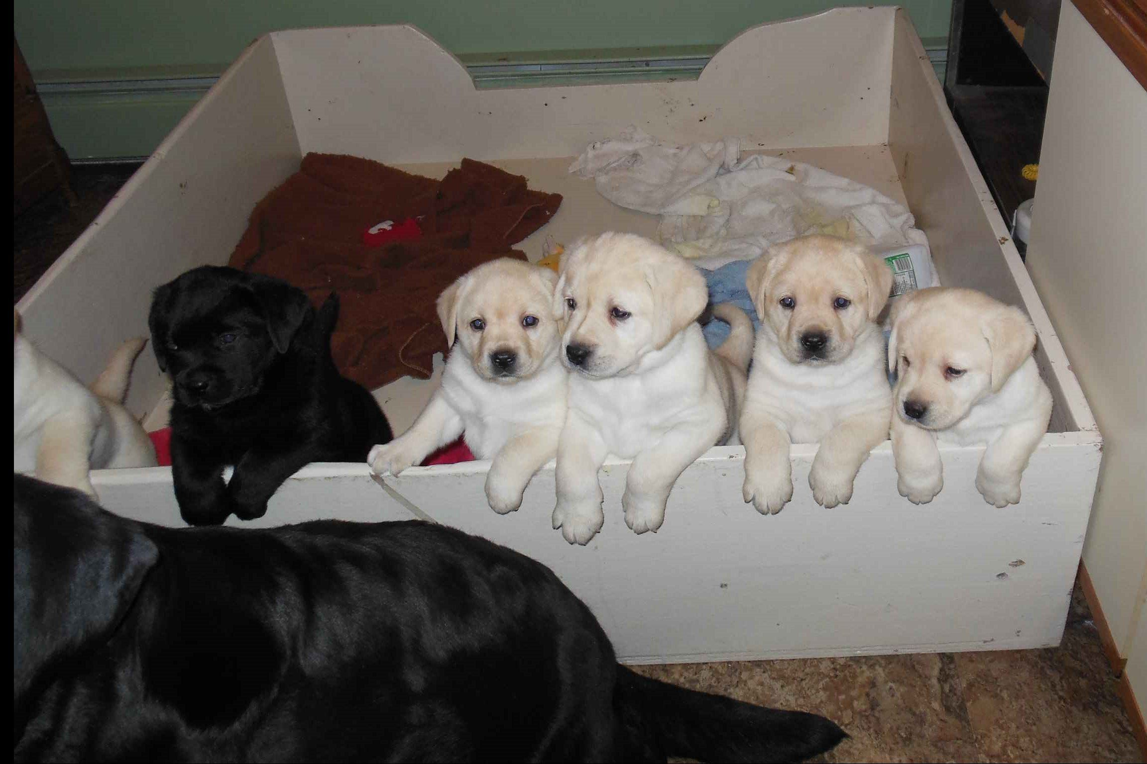 Karen Miller Has Labrador Retriever Puppies For Sale In Great Meadows Nj On Akc Puppyfinder Labrador Breeders Labrador Retriever Labrador Retriever Puppies