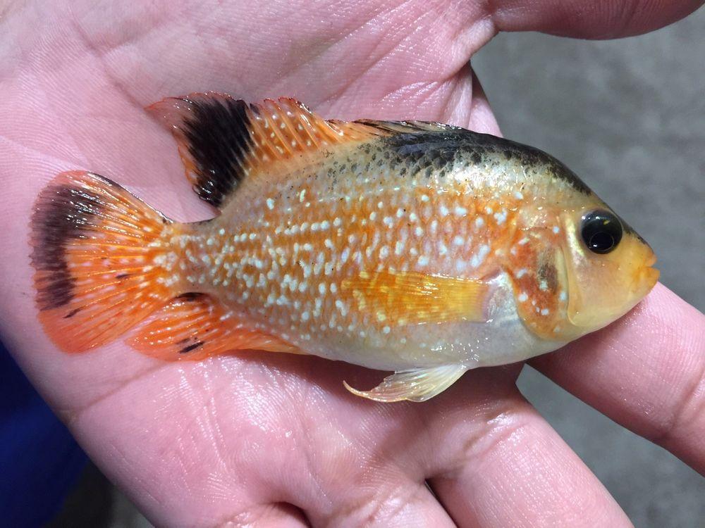 flowerhorn cichlid fish Cichlid fish, Cichlids, Fish