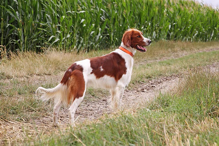 Irish Red and White Setter Dog Breed Information in 2020 ...