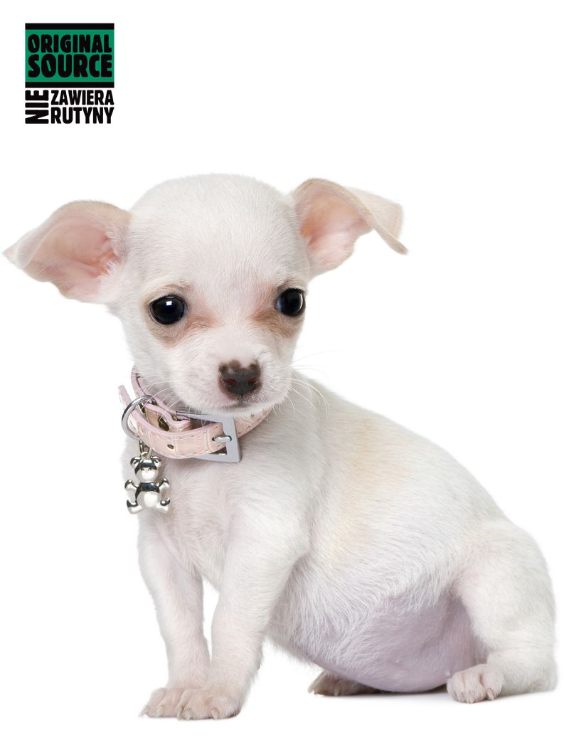 Rutynkowa Obroza Piekny Roz I Ten Uroczy Mis W Formie Zawieszki Zakochasz Sie Do Wyboru 3 Kolory Cute Chihuahua Chihuahua Puppies Chihuahua Puppies For Sale