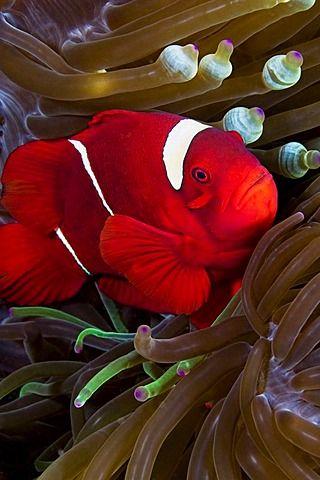 Indonesia, Spine-cheek anemonefish (Premnas biaculeatus) hiding in anemone.