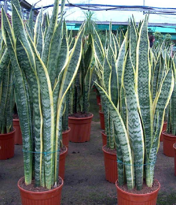Sansevieria trifasciata laurenti sansevi re langue de belle m re jardin d 39 ornement - Plante langue de belle mere ...