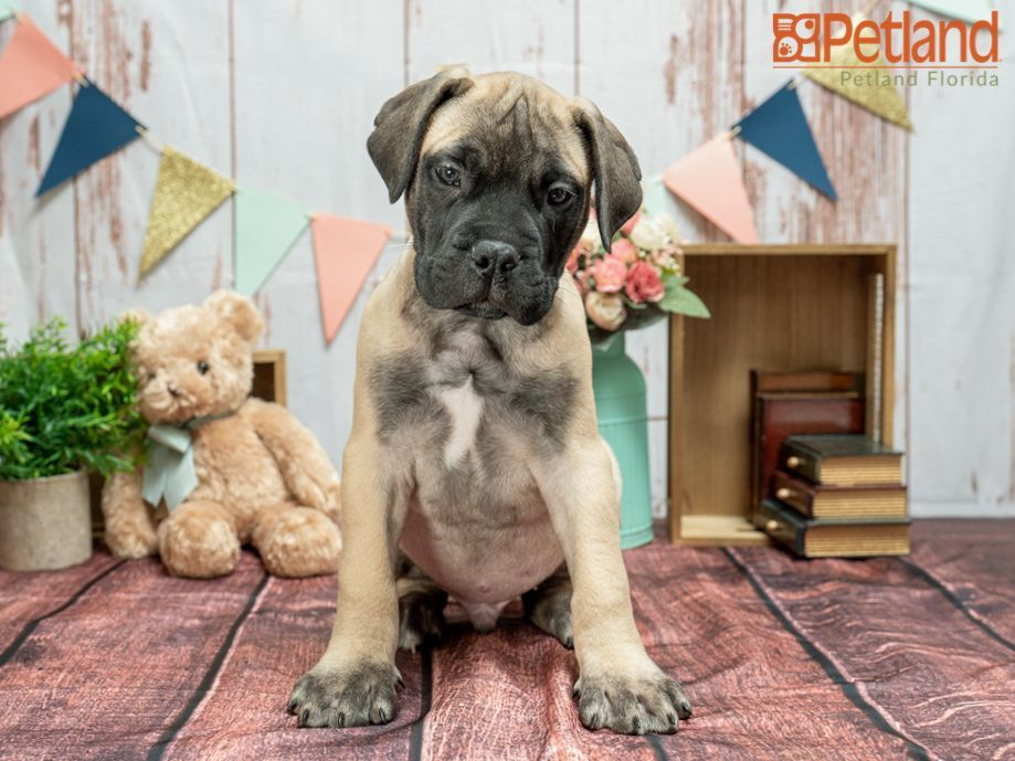 Puppies For Sale Bullmastiff puppies for sale, Puppies