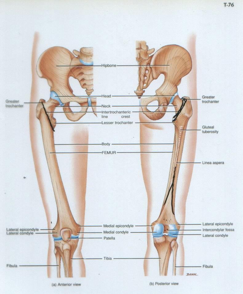 Femur anatomy   Anatomy   Pinterest   Muscles