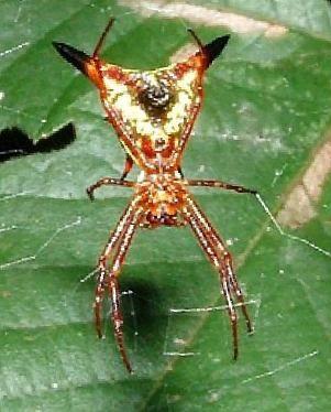 Arrowshape Micrathena (Micrathena sagittata)