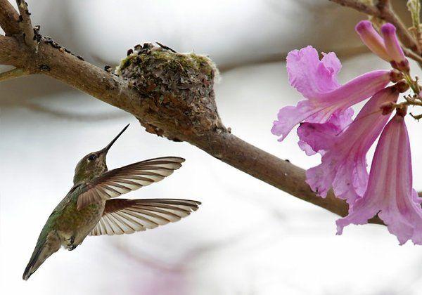 Amazing photos of hummingbird mom, babies - latimes.com