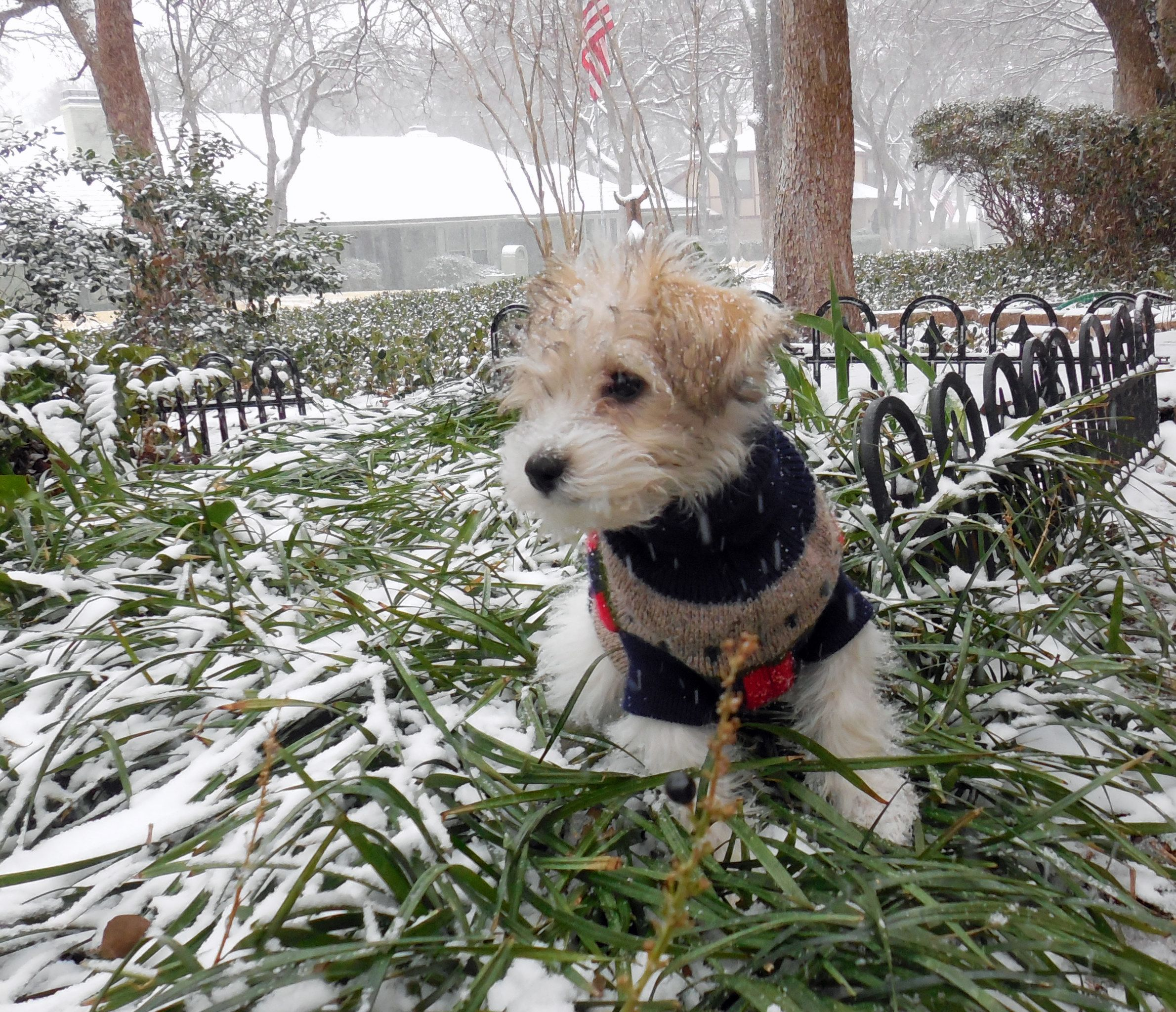 My 3 mo. old Mauzer, Cotton, in her first Texas snow and
