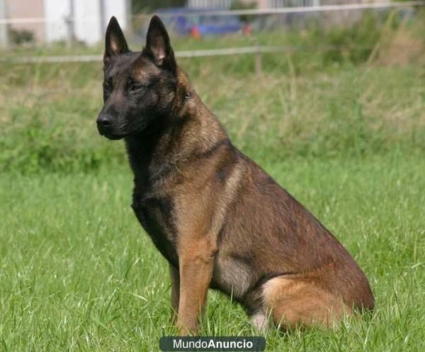 Pin by ACEO The perros on PASTORES - Pastor Belga Malinois ...