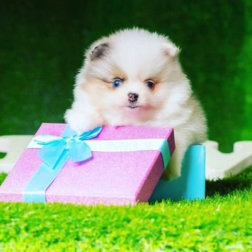 Teacup Pomeranian #cuteteacuppuppies